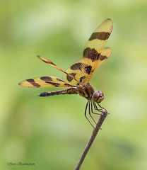 Halloween Pennant (sbuckinghamnj) Tags: insect delawarewatergap newjersey dragonfly halloweenpennant