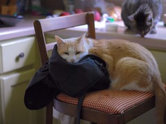 """Hey, Sally... Have you seen my purse?"" (the prequel) (rootcrop54) Tags: otis dilute orange ginger male cat masked shiftyeyes neko macska kedi 猫 kočka kissa γάτα köttur kucing gatto 고양이 kaķis katė katt katze katzen kot кошка mačka maček kitteh chat ネコ"