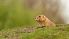 Prairie Dog. (Alexander Adema) Tags: tierpark nordhorn deutschland germany dierentuin zoo duitsland prairie dog hund