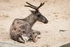 2017-07-16-14h00m12.BL7R5223 (A.J. Haverkamp) Tags: canonef100400mmf4556lisiiusmlens amsterdam noordholland netherlands zoo dierentuin httpwwwartisnl artis thenetherlands rendier rangifertarandus reindeer nl