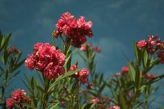 Jataí, Goiás, Brasil (Proflázaro) Tags: brasil goiás jataí natureza ecologia jardim flor canteiro cerrado planta
