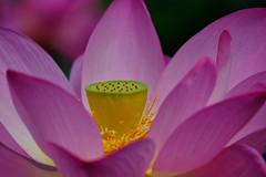 Lotus Blossom Festival in DC (` Toshio ') Tags: toshio washingtondc kenilworthparkandaquaticgardens lotuswaterlilyfestival lotusblossom petals nature stamen fujixt2 xt2