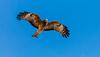 Eagle (Peta Jade) Tags: glenroy backyard bird eagle hawkesbury outdoors photography
