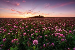 Evening on a blooming meadow (frantiekl) Tags: meadow sky evening sunset blooming clover trees summer july rural countryside pink colors landscape nature scenery harmony serene flowers