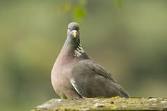 You lookin' at me (.Hogan.) Tags: 300mmf4 birds dumfriesgalloway sandyhills scotland angry bird birding d500 humour nikon stare uk wild wildlife woodpigeon