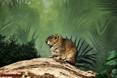 ROCK CAVY. KERODON RUPESTRIS. NEW YORK CITY. (ALBERTO CERVANTES PHOTOGRAPHY) Tags: animal planta plant kerodonrupestris rockcavy rata rat selva forest campo land field countryside camp groud realm zoologico zoo retrato portrait photography arbol tree verde green jungle