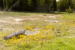 Spring Flowers at Black Sands (rschnaible) Tags: yellowstone national park wyoming west western us usa sightseeing tour tourist spring flowers black sands landscape yellow botanical wildflowers