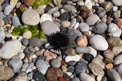 Sea urchin (Norbert Szucs) Tags: summer holiday rhodes 2017 june greece nikon d3300 sea urchin stones