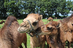 Gentle Smooch on the Cheek (Skadí) Tags: cameltoe cameltoes camel camels camelmilk milk corn newborn babycamel proudmother appletree colgatesmile teeth mudbath milkfarm canon 77d eos canon77d canoneos77d spiegelreflexcamera fotografie photography