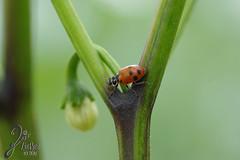 Macro-LadyBugs_145 (ZieBee Media) Tags: ladybug garden