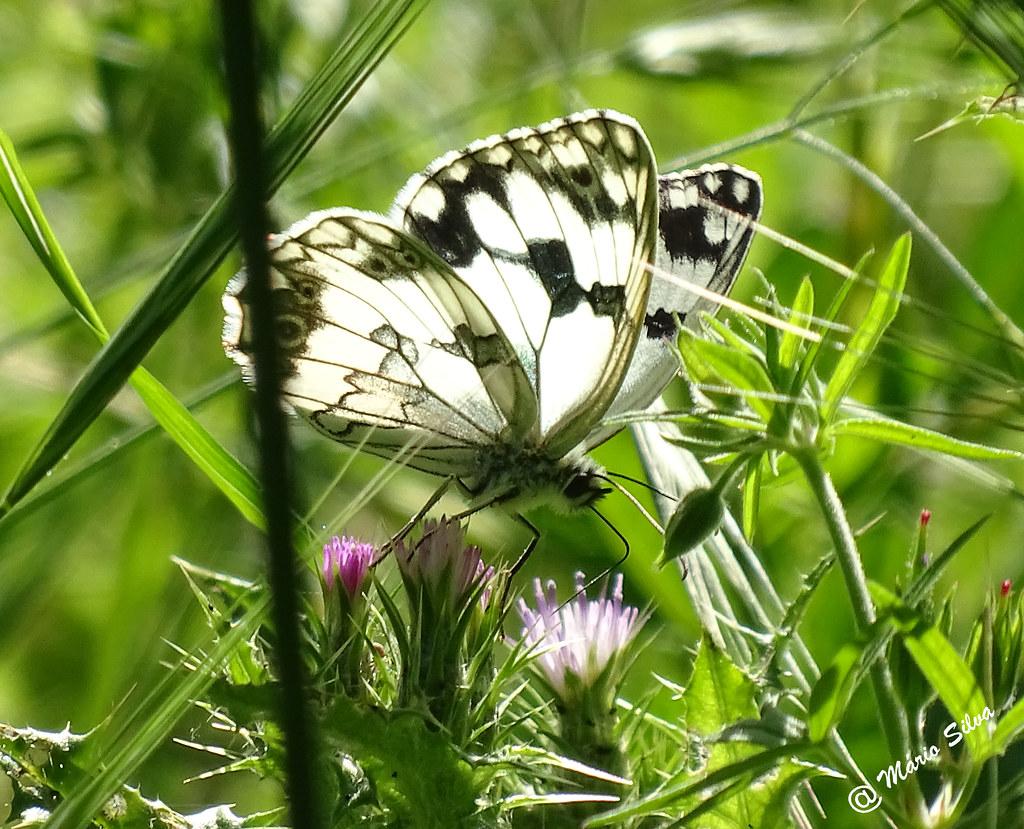 Águas Frias (Chaves) - ... borboleta em cardo ...
