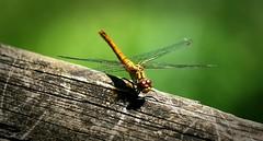 Libellule (oliviercharpentier) Tags: libellule insectes macro
