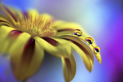 Streaked (Marilena Fattore) Tags: macro canon 6d tamron 90mm colors water drops fantasy nature closeup focus petals reflection bokeh droplet yellow violet blue flores daisy gerbera flower flora macrophotography onlyflowers