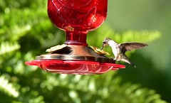 Hummingbird_7272 (Porch Dog) Tags: 2017 garywhittington kentucky nikond750 nikkor200500mm hummingbird birdfeeder backyard nature wildlife feathers
