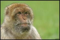 Trentham Monkey Forest 2 (MTB1975) Tags: monkeyforest trenthamgardens trenthammonkeyforest trentham monkey forest animal uk visit stoke placestovisitanimalnaturefurportraitsonysony a77 nature