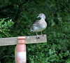 Female Mandarin Duck in summer plumage(Aix galericulata) (jdathebowler Thanks for 1.4 Million + views.) Tags: aixgalericulata orderanseriformes speciesagalericulata familyanatidae genusaix duck perchingduck