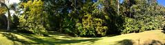 Raintrees Native and Rainforest Gardens, Diamond Beach - July 22nd 2017 (Black Diamond Images) Tags: mybackyard raintrees raintreesnativeandrainforestgardens diamondbeach hallidayspoint july22nd2017 midnorthcoast nsw australia iphone appleiphone7plus iphone7plus landscape panorama appleiphone7pluspanorama iphone7pluspanorama iphonepanorama gardenlandscapes gardenlandscape garden rnrfgdbarfp rnrfgdb