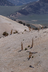 Life and Death in the Dolomite (Jeffrey Sullivan) Tags: rights reserved dolomite rock geology limestone alkaline ancient bristlecone pine forest california usa landscape nature travel photography canon eos 6d photo copyright 2017 jeff sullivan trees monocounty easternsierra inyonationalforest