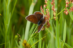 Polonina Bukovska (Zbynek Stoklasa) Tags: ukraine zakarpattia landscape lepidoptera nature mountains lycaena
