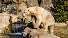 Polar Bear (spierson82) Tags: greatbearwilderness brookfield bear brookfieldzoo czs chicagozoologicalsociety ursusmaritimus illinois zoo polarbear animal unitedstates us
