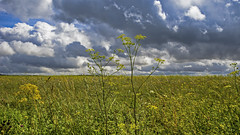 the yellow and the grey (HHH Honey) Tags: sonya7rii tokina2035mmlens tokina salisburyplain wiltshire summer clouds cloudscape landscape yellow wildflowers umbelliferae