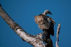 Vulture (knipslog.de) Tags: observing vulture botswana botsuana safari adventure wildlife wild animals selfdrivesafari