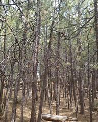 014 Unrunnable Forest (saschmitz_earthlink_net) Tags: 2017 california orienteering laoc losangelesorienteeringclub bartonflats sanbernardinocounty sanbernardinonationalforest forest