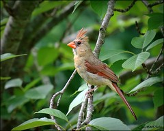 Female Cardinal (JeanM16) Tags: bird female cardinal feathers nature outdoors