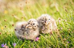 Cute Little Ones (Ranveig Marie Photography) Tags: lesserblackbackedgull sildemåke sildemåse chicks siblings fugleunge måkeunge måseunge lesserblackbackedgullchicks hornhammaren midbrød eigerøy egersund eigersund