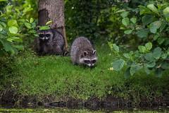 KitsWillBeKits (jmishefske) Tags: greenfield 2017 nikon lagoon westallis wisconsin raccoon pond july park milwaukee d500 county kits