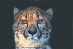 I'm Ready For My Close Up......... (law_keven) Tags: cats bigcat cheetah wingham uk kent wildlife wildlifepark animals animal