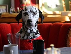 Thank-You For Joining Me for Dinner (Scott RS) Tags: dalmatian dog dinner hostess red table chair smart funny intense spots fun meal tablecloth funnydogs smartdogs creativedogs clothingfordogs christmas newyears eyes smarteyes canon6d canon 24105mm canon24105mm