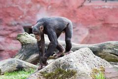 Zoo(m) Gelsenkirchen 20 (akumaohz) Tags: deutschland germany zoo tierpark nikon d3200 drausen outdoor gelsenkirchen zoom tier tiere animal animals säugetier tiefenschärfe schärfentiefe affe monkey schwarz black gemütlich relax entspannt