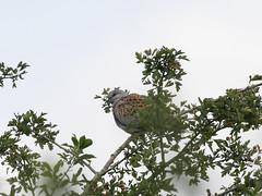 Turtle dove (roger_forster) Tags: turtledove streptopeliaturtur martindown hiwwt salisbury wild bird hampshire