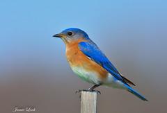 Eastern Bluebird (Jamie Lenh Photography) Tags: nature wildlife birds easternbluebird nikon d7100 tamron 150600