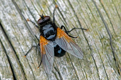 Mesembrina meridiana - the Noon Fly (BugsAlive) Tags: fly flies animal outdoor insect insects diptera macro nature muscidae mesembrinameridiana noonfly muscinae wildlife strattonwood swindon wiltshire liveinsects uk