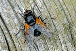 Mesembrina meridiana - the Noon Fly