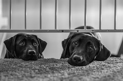 I WIll Wait For You 207/365 (Watermarq Design) Tags: puppies blacklabs pups dogs blackandwhite bokehthursday bokeh process 365project monochrome hmbt