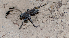 Pepsis Wasp - Tarantula Hawk (Street Parrot) Tags: soil color nature close closeup animal sand insect little stone ground wildlife desert outdoors horizontal wild environment invertebrate desktop no person