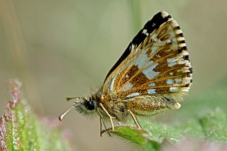 Pyrgus malvae - the Grizzled Skipper