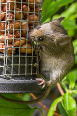 Mr Beau Jingles (nut thief) (Photo_stream_this) Tags: mouse nuts feeder wildlife birdhouse mr jingles