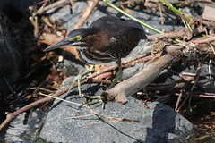 Green Heron-Foraging (drbeanes) Tags: green heron butorides virescens masonville cove
