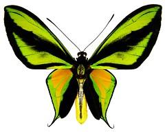 Ornithoptera paradisea paradisea (male); ANIC. (sarracenia.flava) Tags: birdwing butterfly ornithoptera paradisea papua new guinea anic australian national insect collection