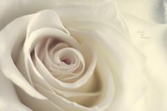 Queen of flowers _ a shot for MM (pierfrancescacasadio) Tags: luglio2017 rosa 31072017img2361 24mm macromondays queen flower rose macro