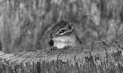 "Posing (*Millie -""ON and OFF"") Tags: chipmunk blackandwhite monochrome animal wild sweetarrowlakecountypark pinegrove pennsylvania schuylkillcounty hollow tree trunk animalplanet tamron18400"