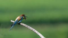 07-8187 (fix.68) Tags: guêpierdeurope oiseau régurgite