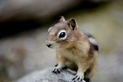 DSC_4195 (mbernards89) Tags: lakelouise banff banffnationalpark canada nature naturallight animals animal squirrel groundsquirreleyeseyerodentcuteclose up mammal wildlife face outdoors