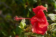 Hibiscus (ronmcmanus1) Tags: antigua flowersplants landscape nature outdoors jollyharbour stmarysparish antiguabarbuda