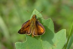 Rostfarbiger Dickkopffalter (dieterbraun (view large:)) Tags: nikon d5500 insekt schmetterling