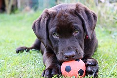 ~ ~ ~ ~ ~ ~ ~ #puppy #puppies #puppylove #labrador #labradorretriever #labradorlove #labradorpuppies #labradorpuppy #labradorable #chocolatelabpuppy #chocolatelabrador #chocolate #chocolatelab #dog #dogs #green #grass #cute #cutepuppies #cutepuppy (Sophie_Metcalfe) Tags: puppy puppies puppylove labrador labradorretriever labradorlove labradorpuppies labradorpuppy labradorable chocolatelabpuppy chocolatelabrador chocolate chocolatelab dog dogs green grass cute cutepuppies cutepuppy
